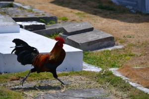 Chickens run amuck on the island.